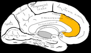 脳の中にある『ACC(前帯状皮質)』(Wikipediaより)